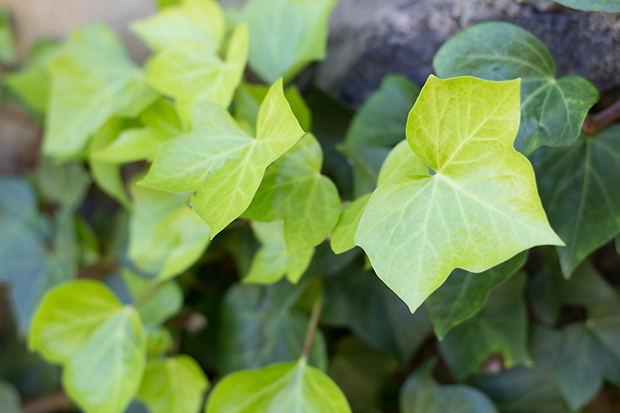 stratadata - Strata Living 24 Suitable Indoor Plants (10)