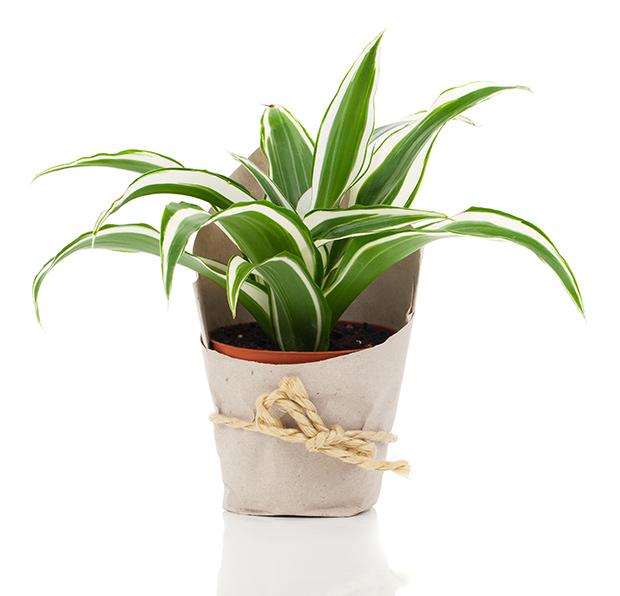 stratadata - Strata Living 24 Suitable Indoor Plants (13)