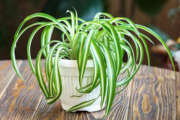 stratadata - Strata Living 24 Suitable Indoor Plants (17)