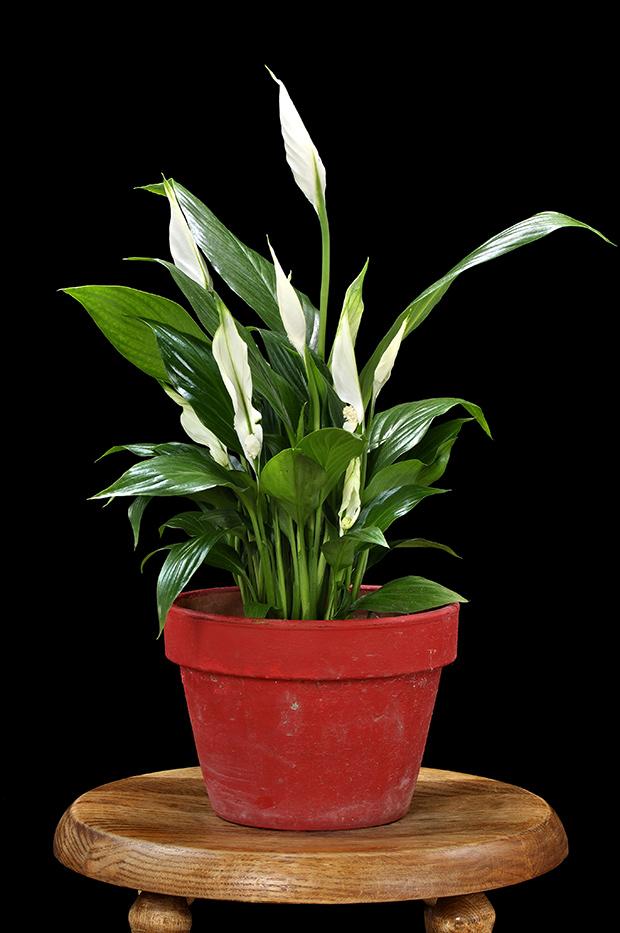 stratadata - Strata Living 24 Suitable Indoor Plants (2)