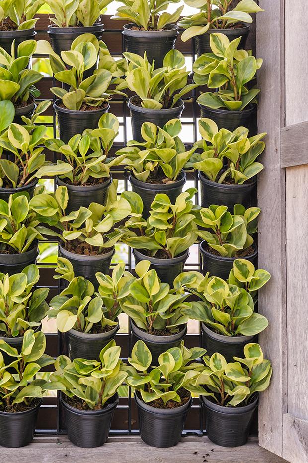 stratadata - Strata Living 24 Suitable Indoor Plants (20)