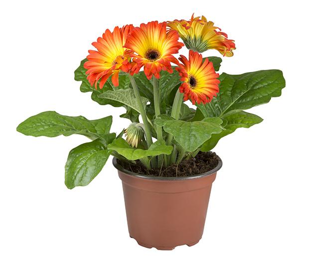 stratadata - Strata Living 24 Suitable Indoor Plants (8)